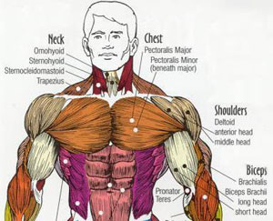 Important Muscles For Fighting